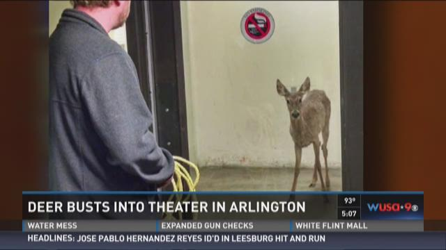 Deer busts into theater in Arlington